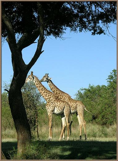 giraf1